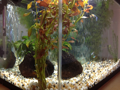 Adam Puli's 10 Gallon Freshwater Aquarium