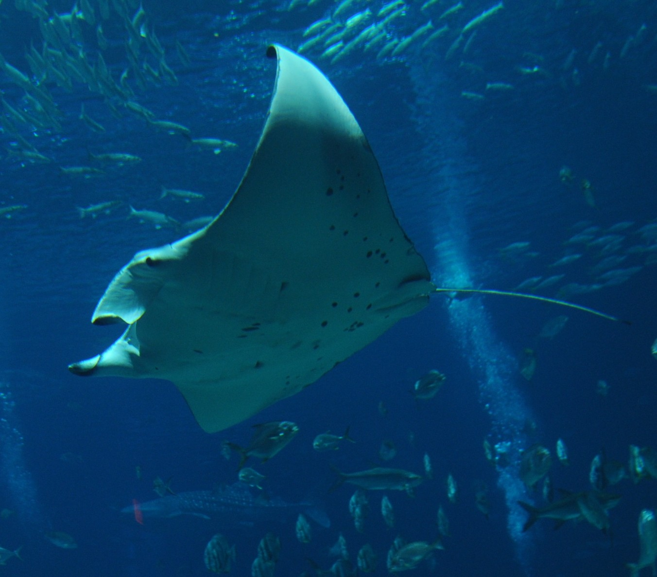 Georgia aquarium dive with the mantas aquarium tip tank Georgia aquarium volunteer